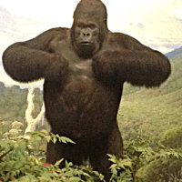 Akeley's Gorilla Close-up
