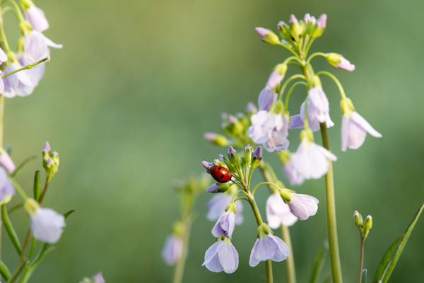 Ladybird on Spring Flowers