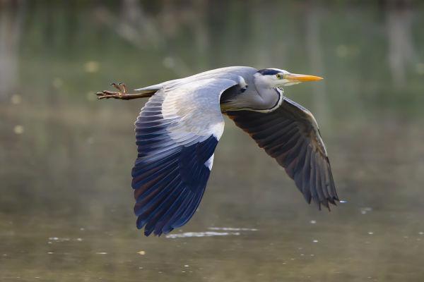 Heron over Sissinghurst