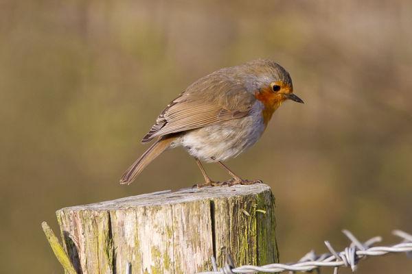 Robin at Sissinghurst