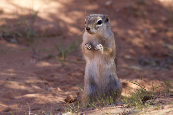 Valley of Fire Chipmunk
