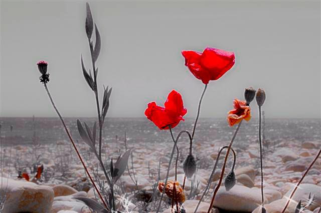 Beach Poppies
