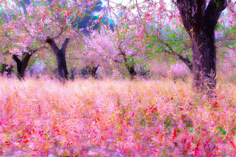 Field of Blossom
