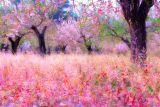 Field of Blossom