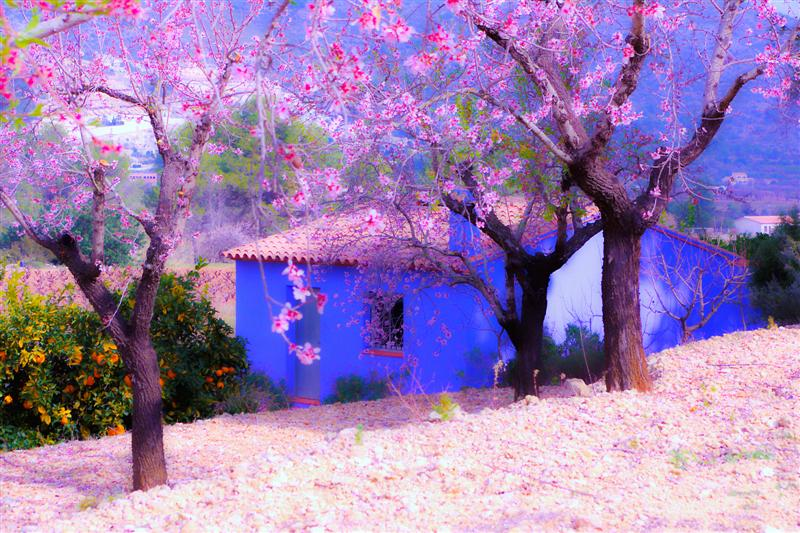 Blue Hut in a Blossom Field