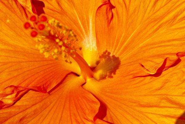 Hibiscus Sunset