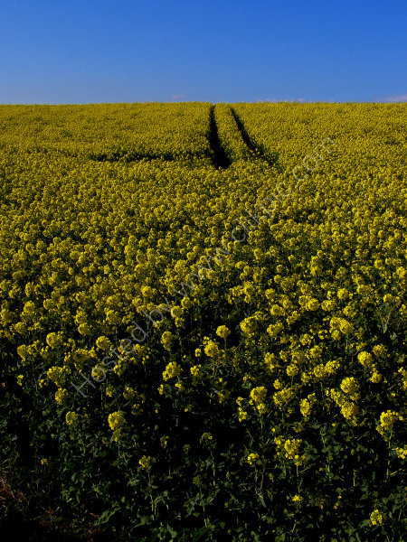 Fields of Rapeseed (Brassica napus)