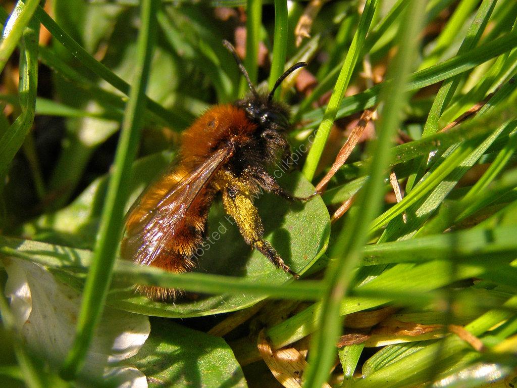 Tawny Mining Bee (Andrena Fulva)