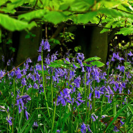 Bluebells in Hunger Hill Woods