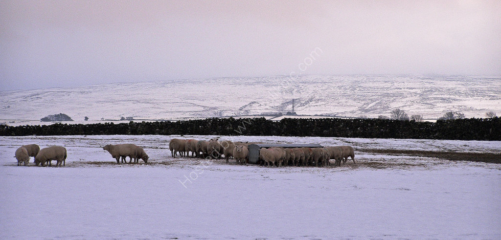 Sheep - nr. Ingleton in Snow