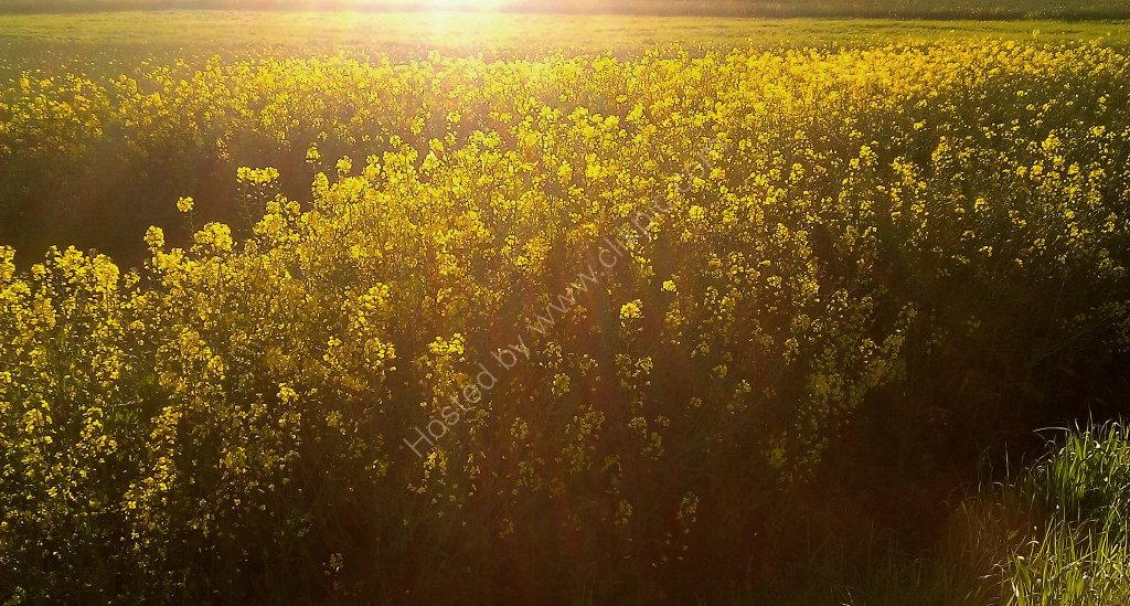 Fields of Rapeseed in the sun
