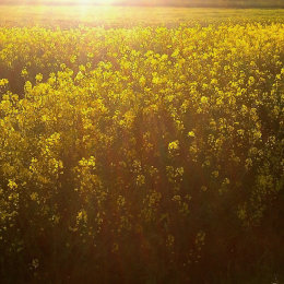 Fields of Rapeseed in the sun
