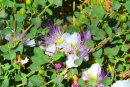 Feijoa flower