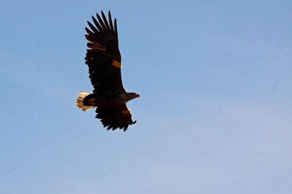 White Tailed Eagle Flypast
