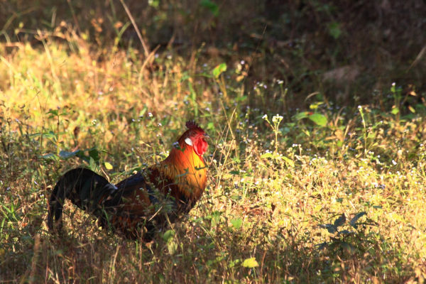 Wild or Red Junglefowl