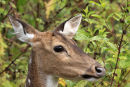 Female Sambar Deer