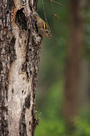 3 Striped Squirrel or Indian Palm Squirrel