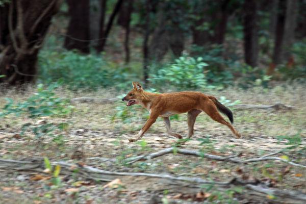 Indian Wild Dog Hunting