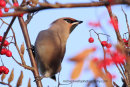Waxwing framed by berries