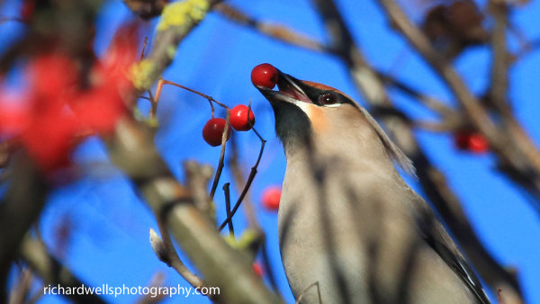 Waxwing plucking berry
