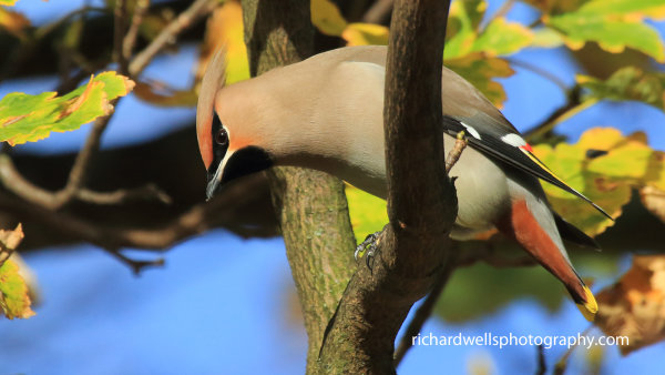 Waxwing autumn leaves