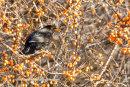 Blackbird on sea buckthorn