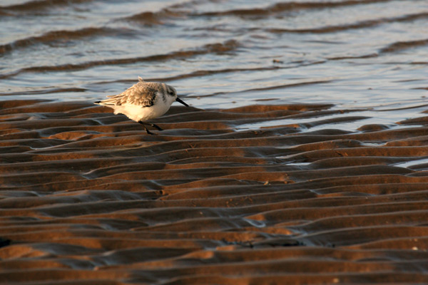 Sanderling Steppin out...