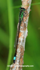 Blue tailed damselfly, Holyrood park, Edinburgh
