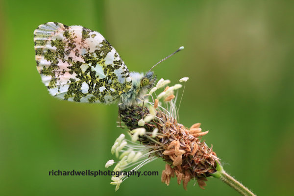 Orange Tip butterfly, Duddingston