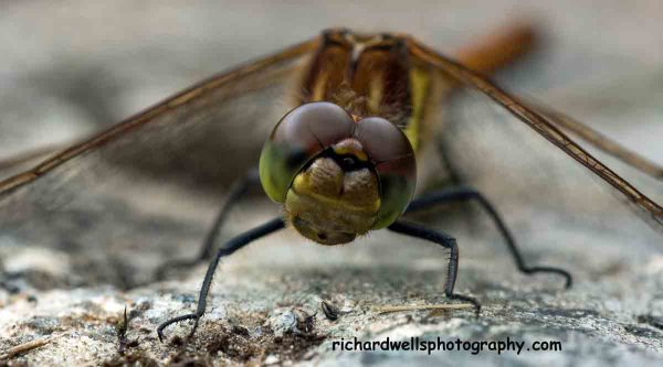 Dragonfly Sizing Me Up...