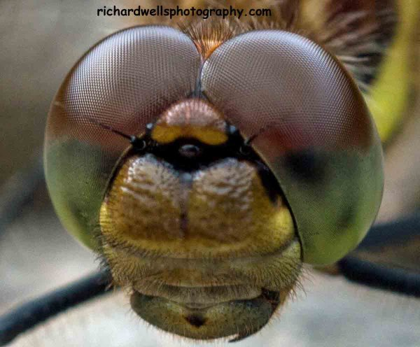 Dragonfly Portrait