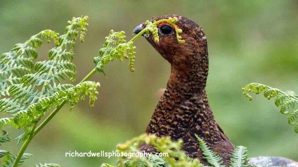 Red Grouse Peeking…Handa island