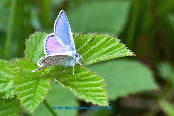 Common Blue Achmelvich