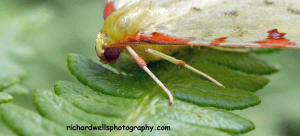 Brimstone Moth close up