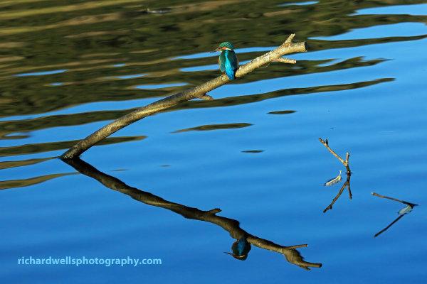 Kingfisher, Bawsinch