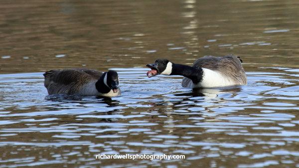 Canada geese, Duddingston loch