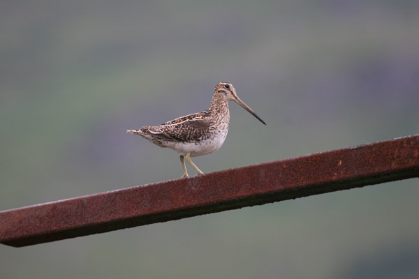 Snipe Perching