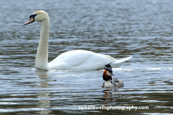 Swan and Great Crested Grebe, Duddingston loch.