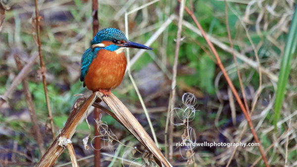 Kingfisher perched on reeds.
