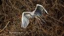 Grey Heron in Figgate park