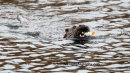 Otter with lunch, Figgate park