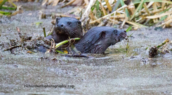 2 Otters in Figgate pond