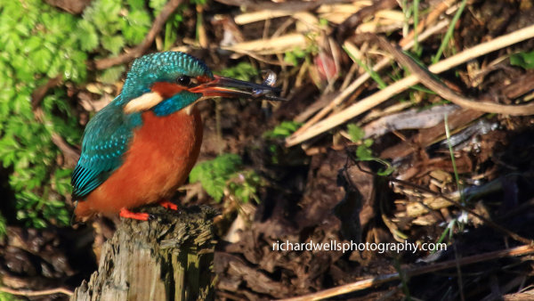 Kingfisher Too