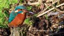 Kingfisher, Figgate Park