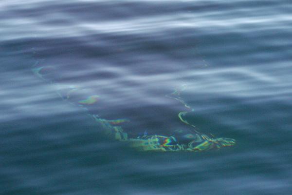Fluke? Humpback Whale Submerged