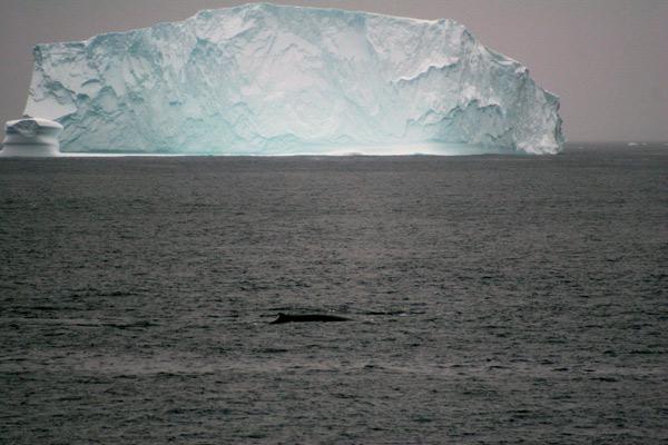 Fin Whale and Massive Iceberg, Greenland