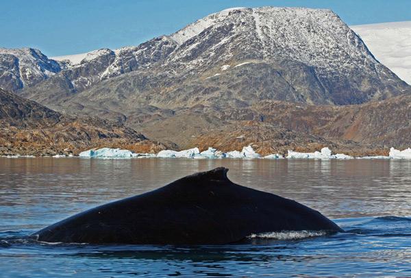 Humpback Whale, Greenland