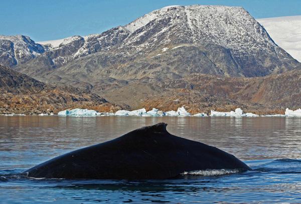 Humpback Whale, Sermilik Fjord, East Greenland