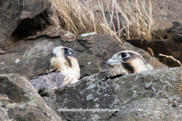 Two Juvenile Peregrines