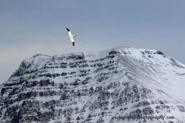 Gannet over Grundarfjordur, west Iceland